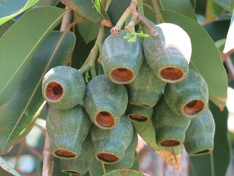 Marri Gumnuts