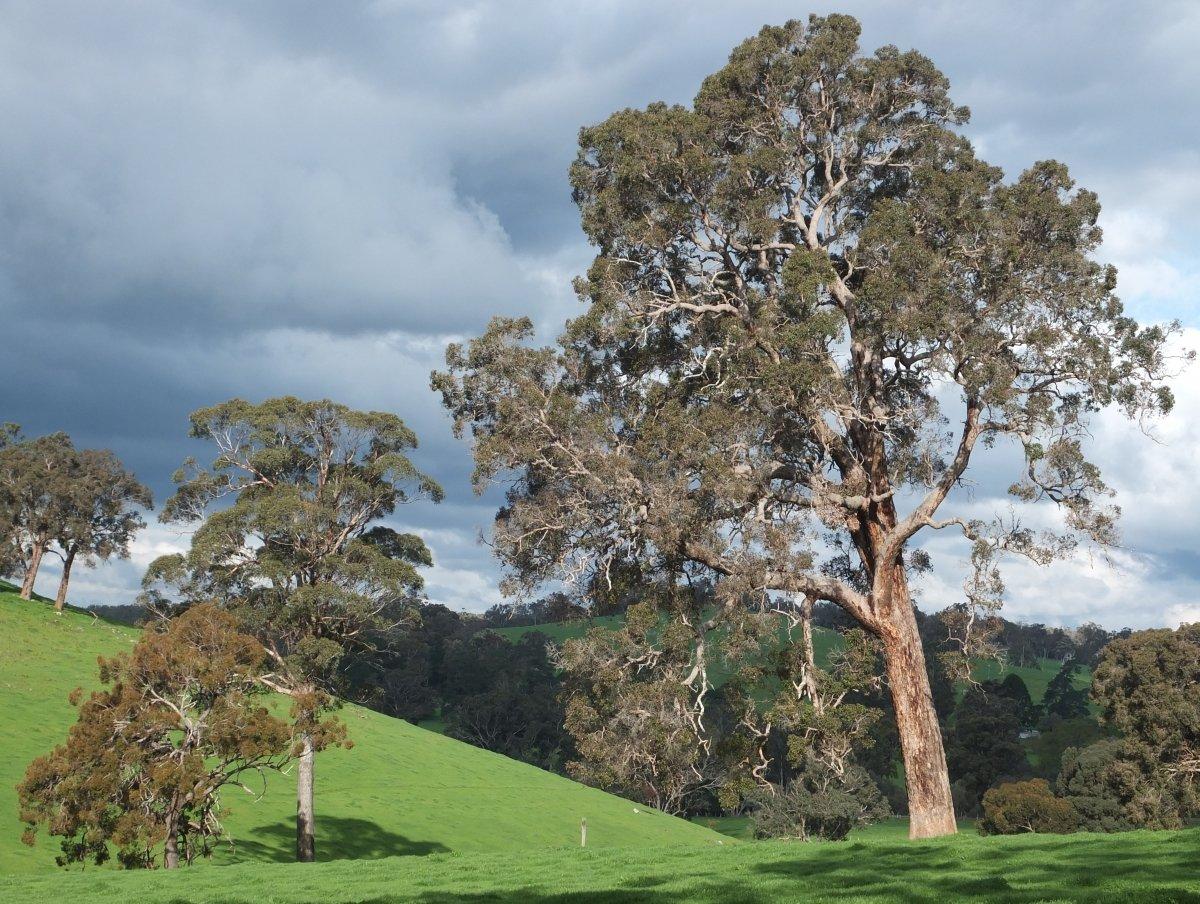 Redgum tree