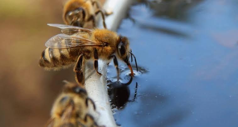 Bee's drinking