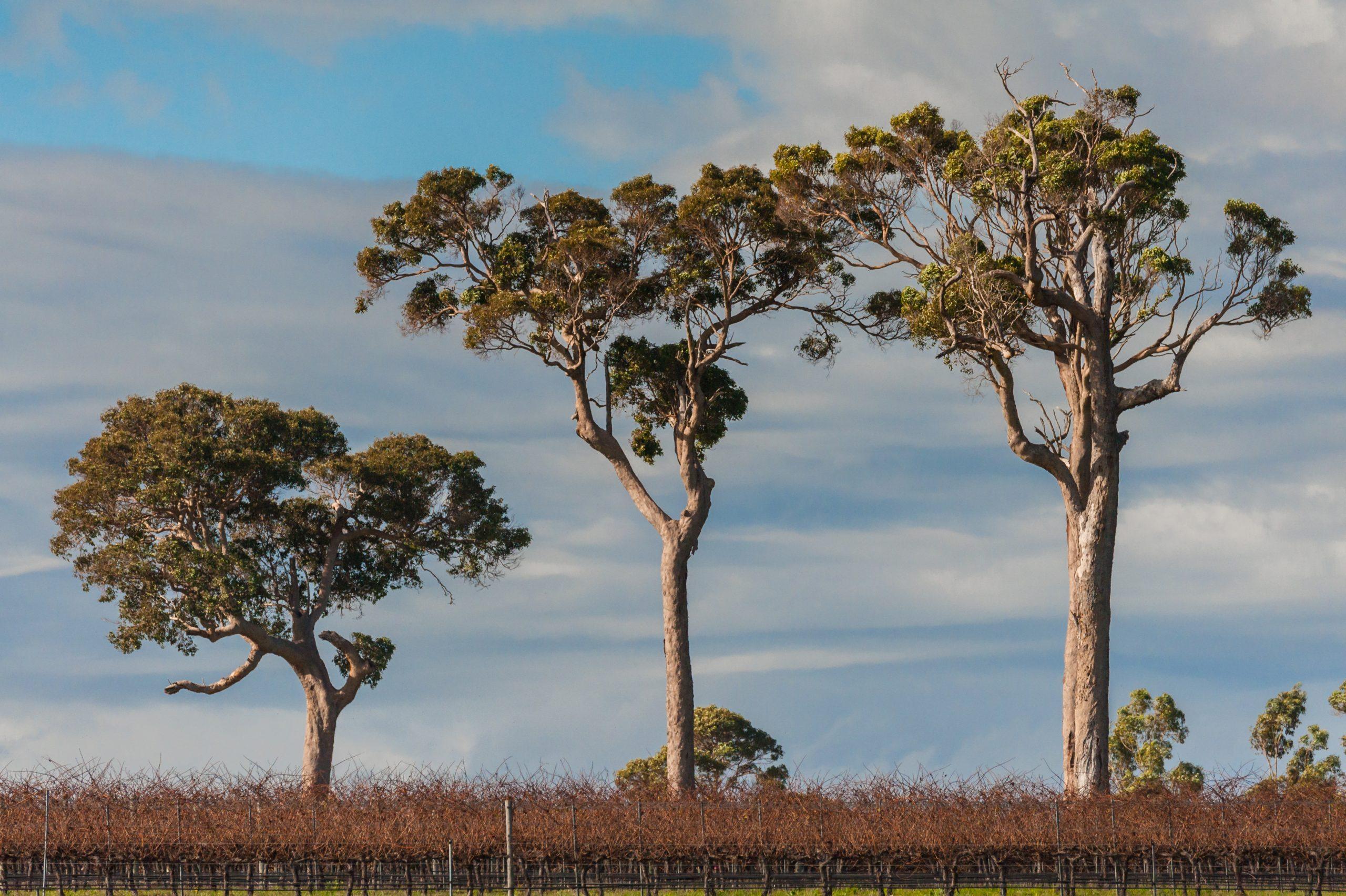 Three,Big,Marri trees