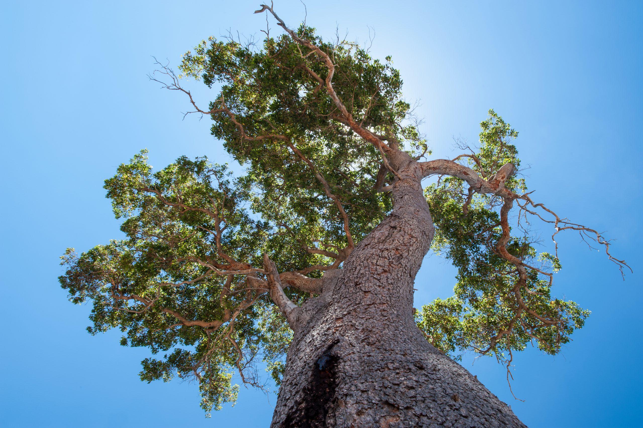 ,Redgum,(marri), Eucalyptus Tree