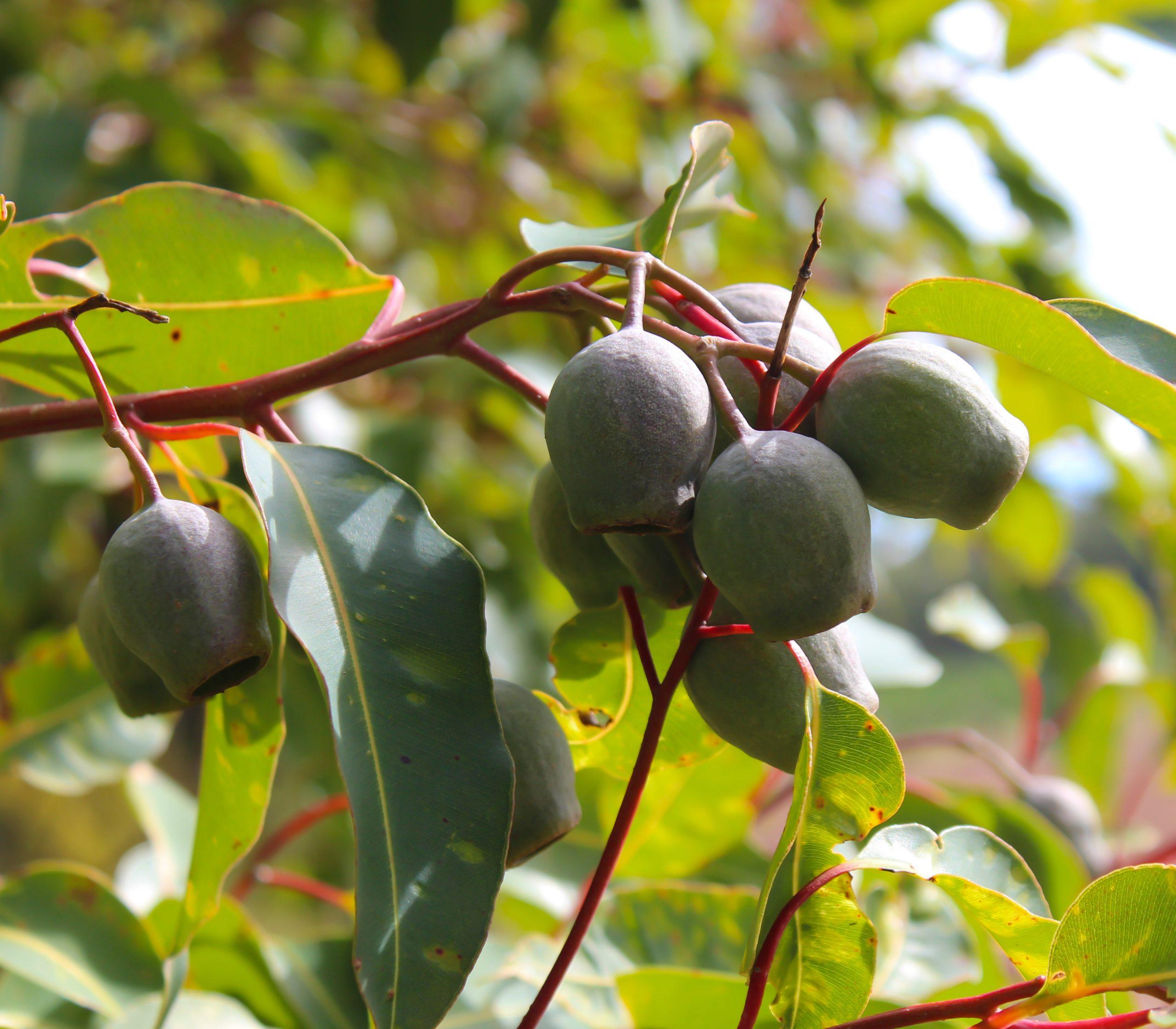 Eucalyptus Redgum Gum Nuts