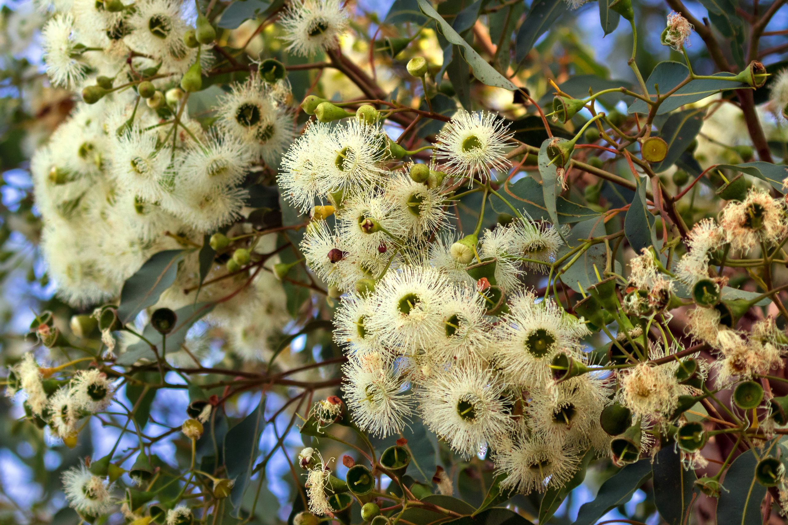 Marri,Flowers Known As,Red,Gum,,Port,Gregory